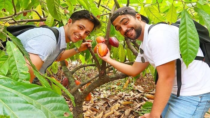 vườn cacao Mười Cương